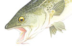 Stuart Trotter Illustration - stuart trotter, paint, painted, traditional, natural history, realistic, animals, fish